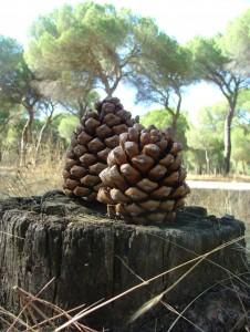 Open pine-nut pine-cones